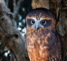 Boobook Owl by oxyimages