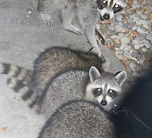 Mother Raccoon with Three of Her Kits by Navigator