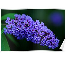 Dew Kissed Buddleia Poster