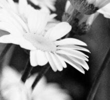 Black n White Daisies Sticker