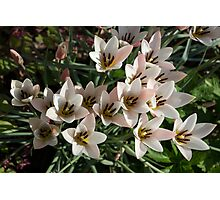 A Bunch of Miniature Tulips Celebrating the Spring Season Photographic Print