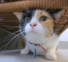 Calico Cat for Adoption by Margaret Miller