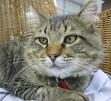 Big Brown Tabby Cat by Margaret Miller