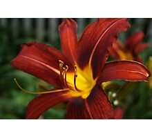 Red and Yellow Day Lily Photographic Print