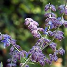 Russian Sage by Linda  Makiej Photography
