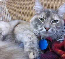 Dilute Tortoiseshell Cat by Margaret Miller
