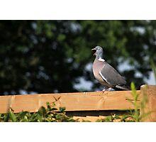 Sleepy pigeon Photographic Print
