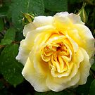 Yellow Rose by hootonles