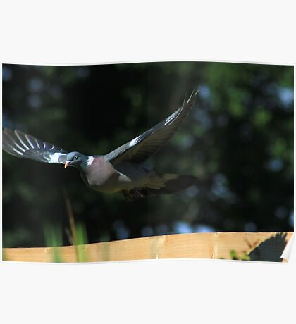 Wood pigeon flying over garden fence Poster