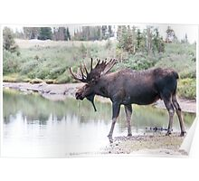 Thirsty moose a Thursday morning Poster