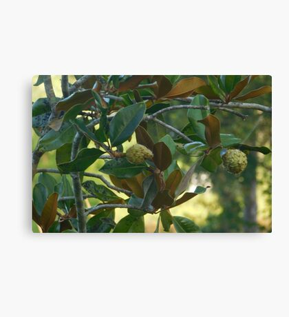 Magnolia Fruit Canvas Print
