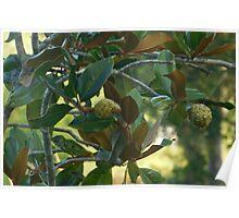 Magnolia Fruit Poster