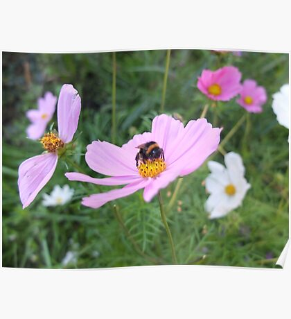 Bumble Bee on Cosmos Flower Poster