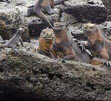 Marine Iguana - San Cristobal Island - Galapagos by David Galson