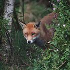 Red Fox by Gill Langridge
