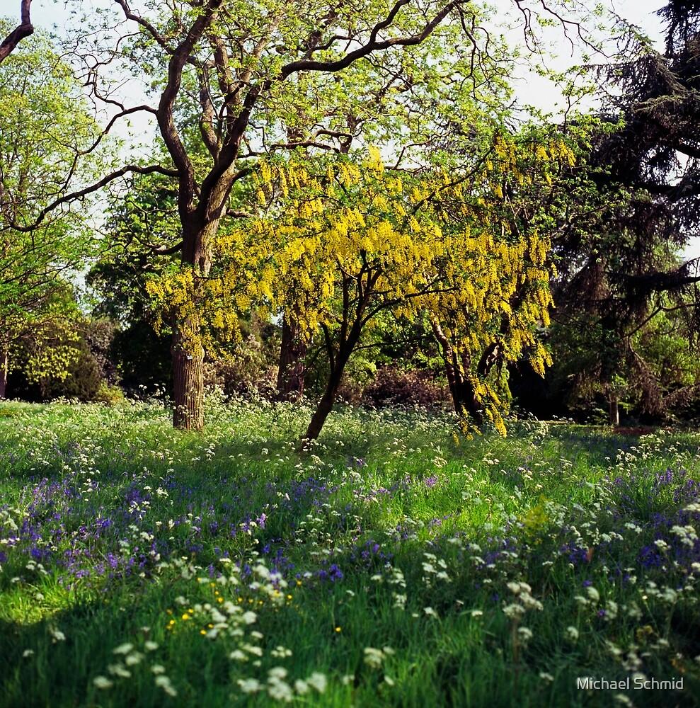 Laburnum tree in full flower by Michael Schmid