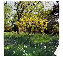 Laburnum tree in full flower Poster