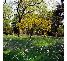 Laburnum tree in full flower Photographic Print