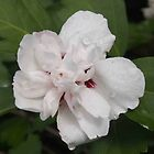 Double White Rose of Sharon by Linda  Makiej
