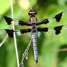 Twelve-Spotted Skimmer by William Brennan
