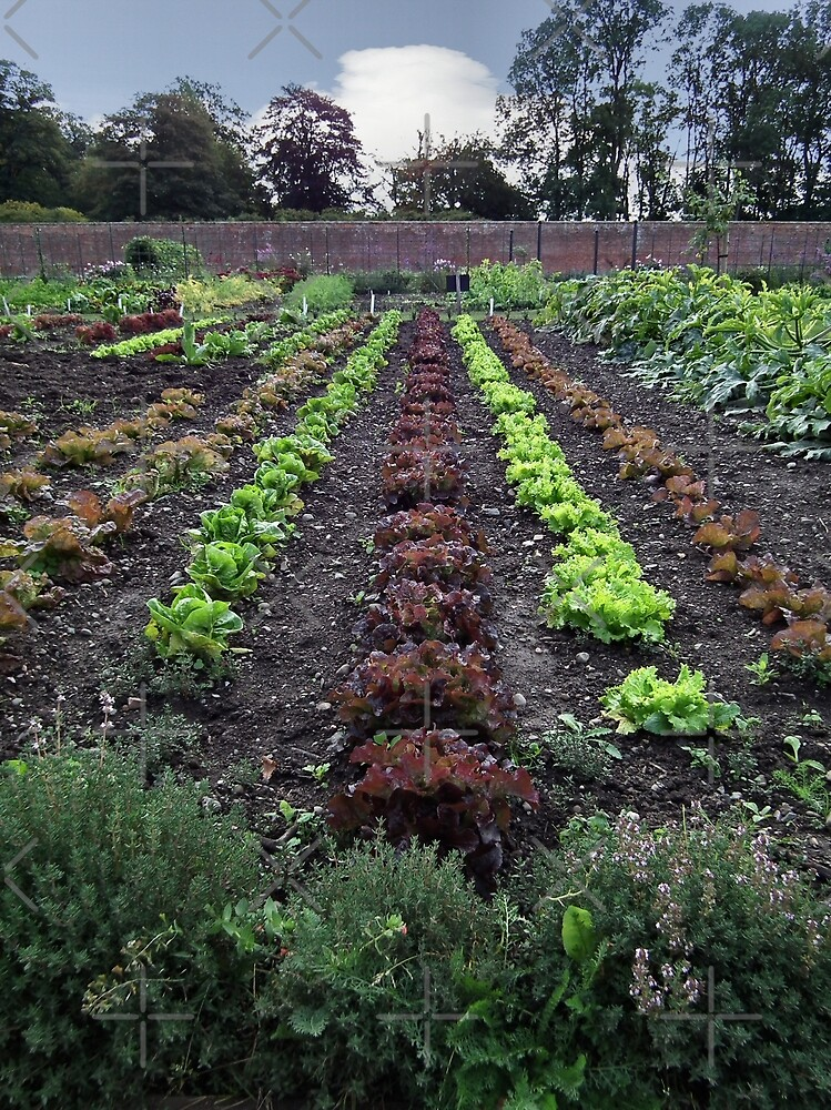 Lettuce line up by LydiaBlonde