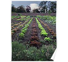 Lettuce line up Poster