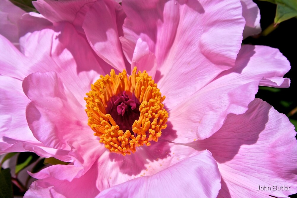 Perfect Pink Peony by John Butler