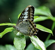 Brown Clipper - Parthenos Sylvia by Poete100