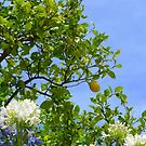 Under The Lemon Tree by Fara