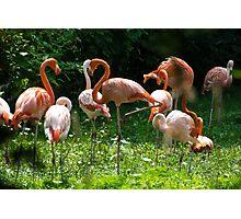 Flamingo-ful Photographic Print
