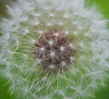 Dandelion Seed Head by Thomas Stayner
