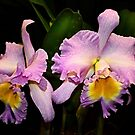 A pair of Orchids by cclaude