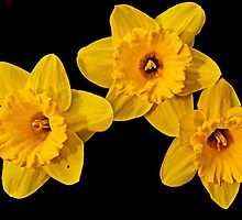 Three Daffodils by cclaude