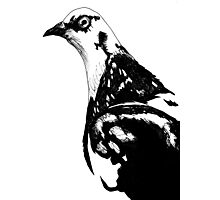 feral pigeon Photographic Print