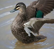 Duck Display B by Thomas Stayner