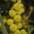 Whirrackee Wattle by Lozzar Flowers & Art