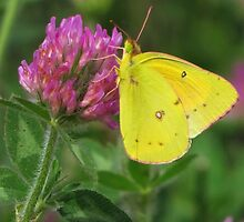 Butterfly on Clover by lorilee