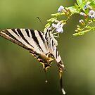 hanging swallowtail by jhawa