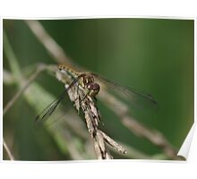 Common Darter Dragonfly at Gwithian Nature Reserve in Cornwall.  Poster