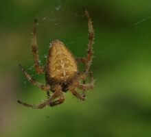 Garden Spider at Gwithian Nature Reserve in Cornwall. Sticker