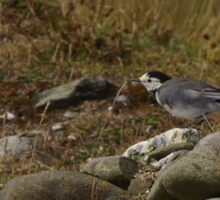 Pied Wagtail on the rocks at Gwithian in Cornwall.  Sticker