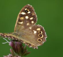 Speckled Wood Butterfly at Gwithian Nature Reserve in Cornwall. Sticker
