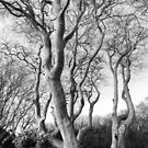 Tynningham Beeches by Christopher Cullen