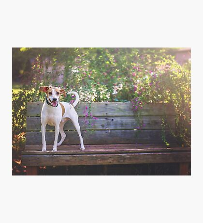 Jack Russel Mix on Bench Photographic Print