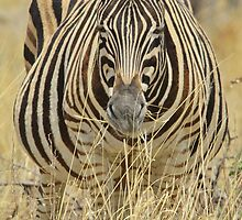 Zebra - African Wildlife - Laboring Pregnancy  by LivingWild
