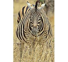 Zebra - African Wildlife - Laboring Pregnancy  Photographic Print