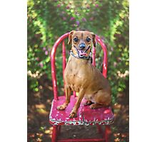 Smiling Dog on Chair Photographic Print