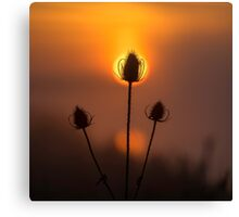 Teasel dawn, UK Canvas Print