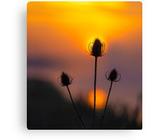 Teasel dawn, Cambridgeshire, UK Canvas Print