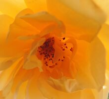 Inner Glow of a Yellow English Rose by Marilyn Harris